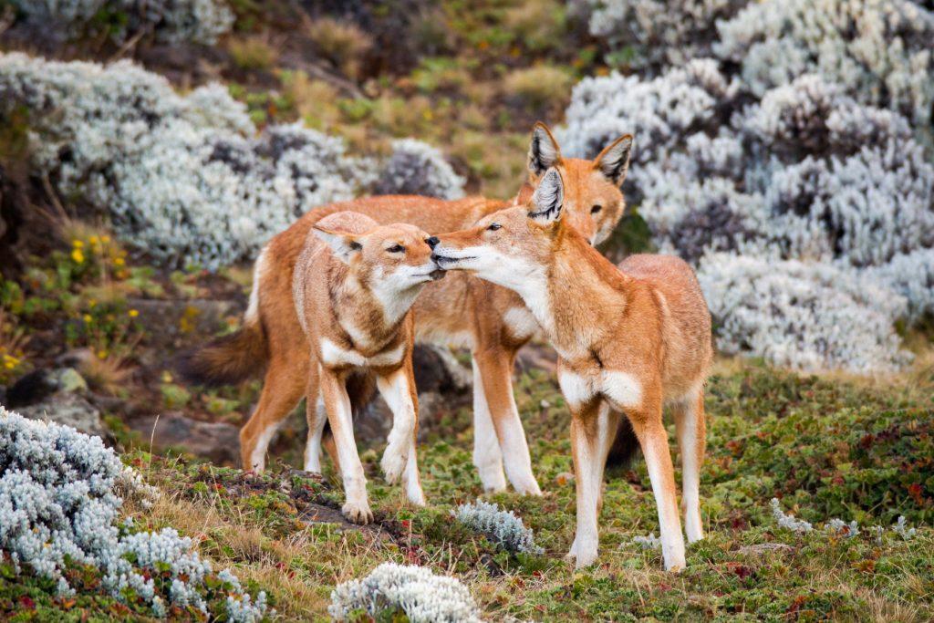 Ethiopian-wolf-gallery-will-burrard-lucas-31