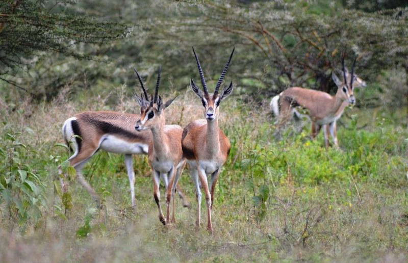Gazelles- Abjata-shala NP