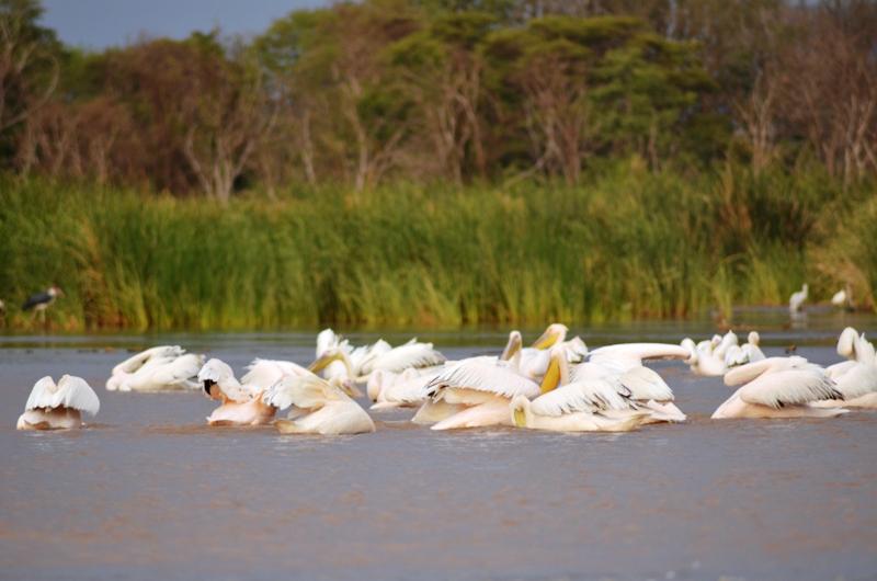 Pelicans- Nechisar NP
